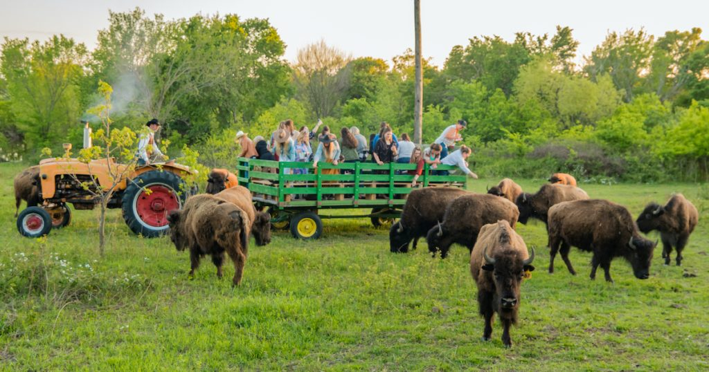 feeding buffalo from hay wagon old west buffalo